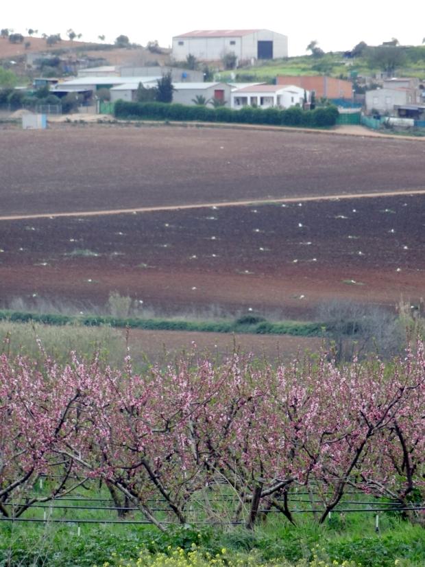 En algún lugar al oeste de España: bajo los frutales en flor del pie de imagen se ven los tubos del gota a gota.
